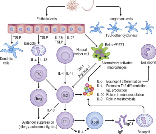 helminth infection macrophage)