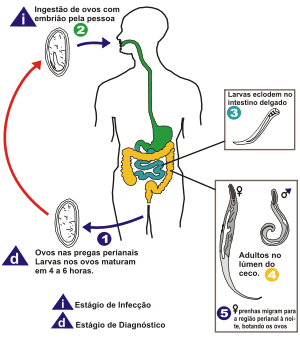 oxiurose transmissao sintomas tratamento e prevencao)