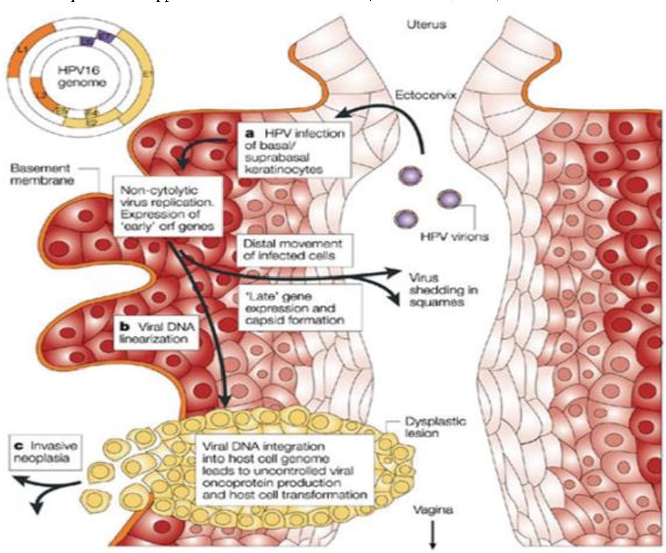 cancer de col uterin genetic)