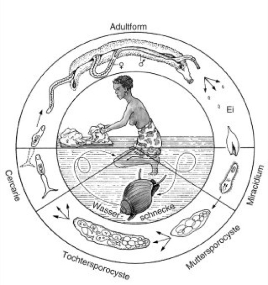 schistosomiasis zyklus