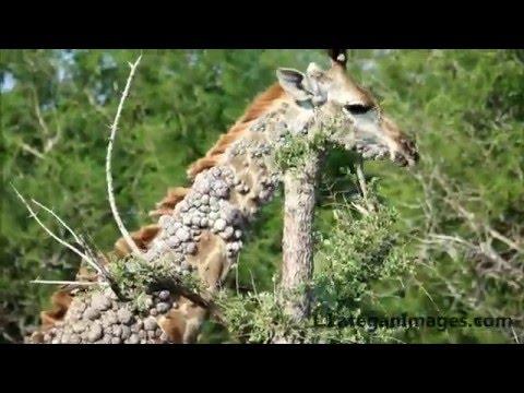 deer with hpv virus)
