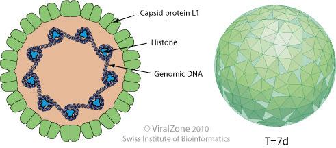 papillomaviridae viral zone