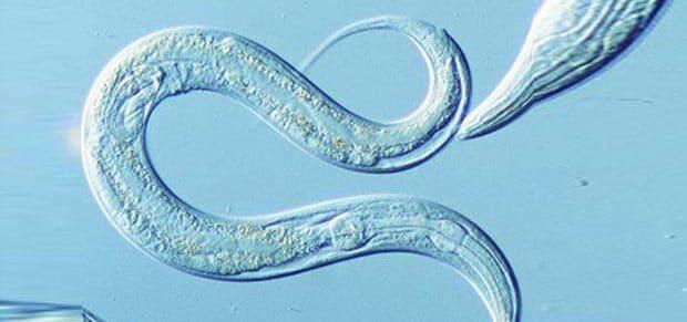 helmint paraziti belirtileri papillomavirus qka eshte