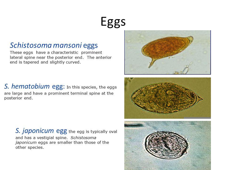 egg types schistosomiasis
