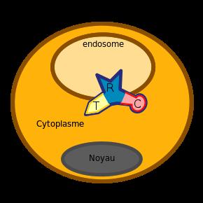toxine diphterique