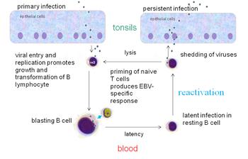 papillomavirus transmission salive