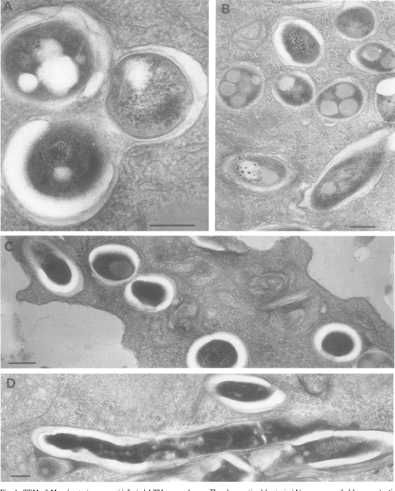 BACTERII și organisme înrudite | Normă
