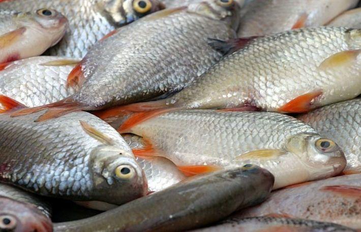 paraziti la salau ryba paraziti