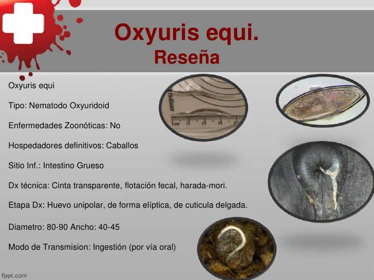 oxyuris equis