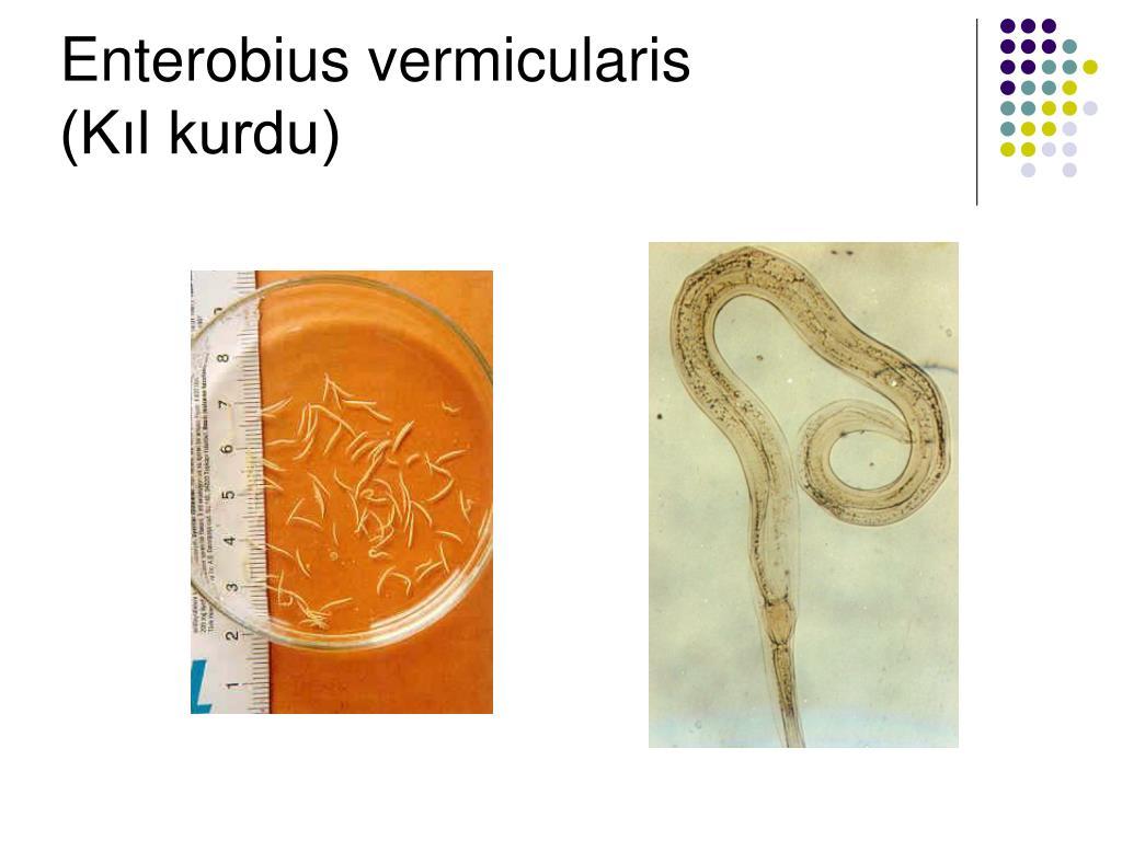 enterobius vermicularis k?l kurdu)