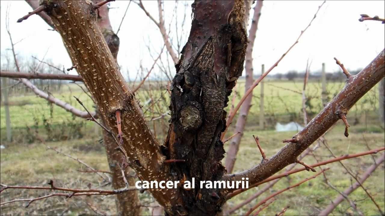 cancerul pomilor fructiferi)