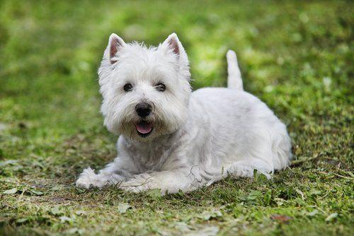 dermatite yorkshire terrier