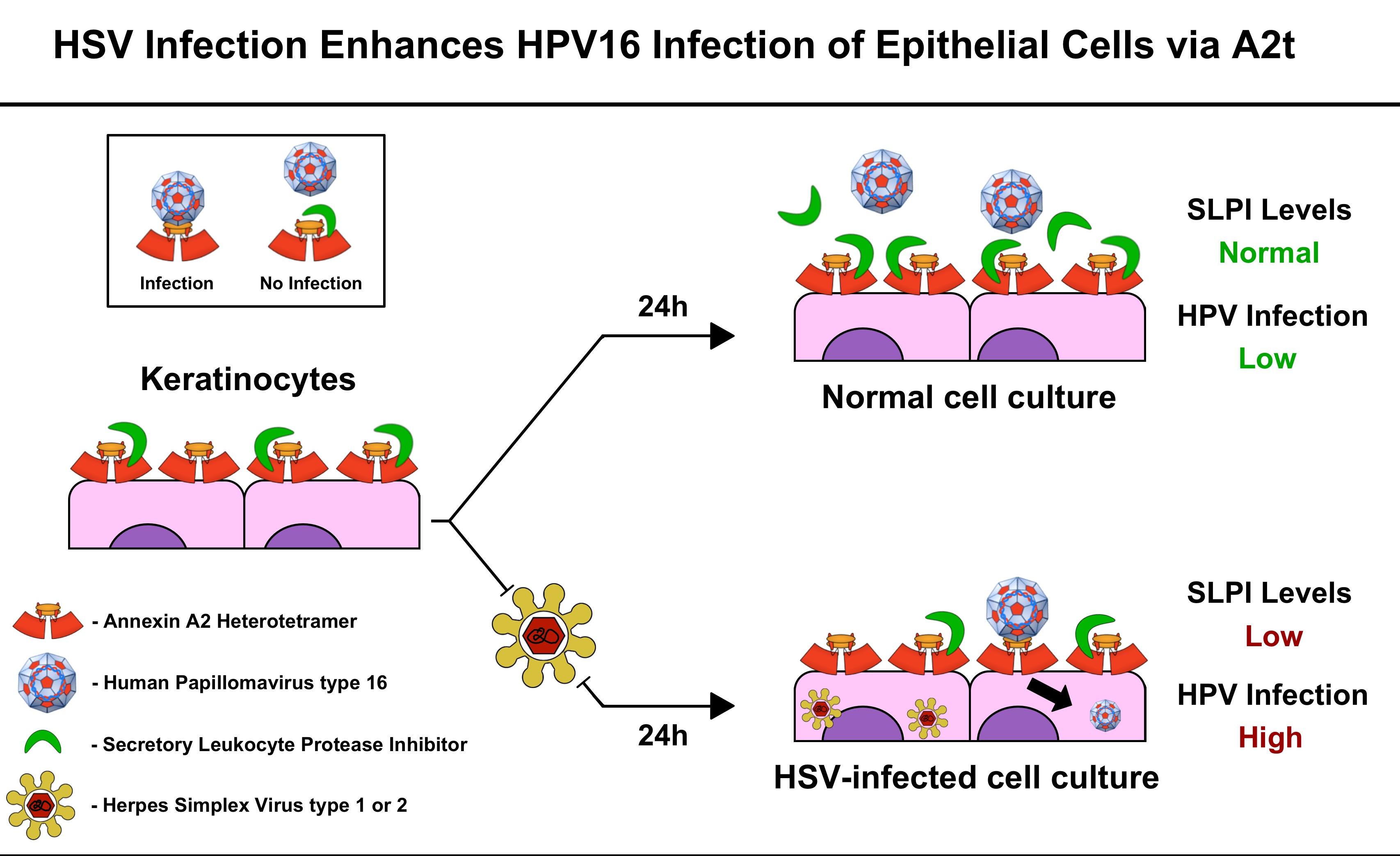 human papillomavirus and herpes)