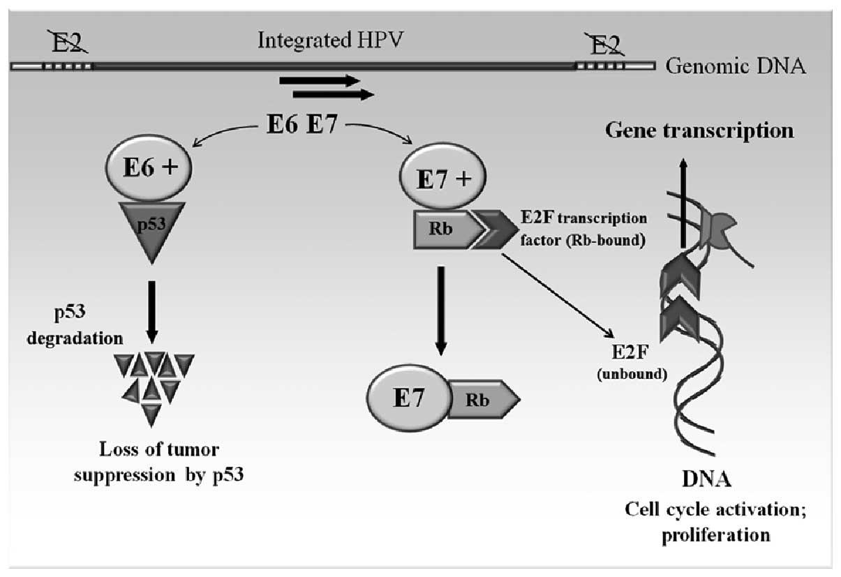 papilloma virus oncogene