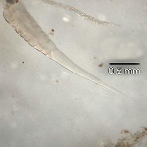 paraziti roupy)