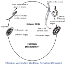 life cycle of enterobius vermicularis with diagram)