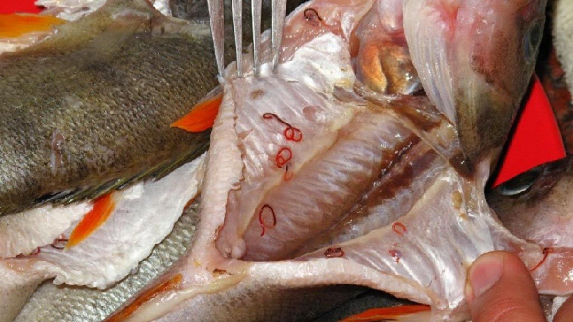Informații – viermii din pește