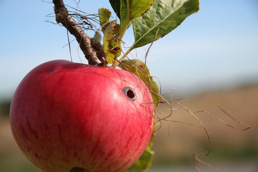De ce fac merele viermi în luna august