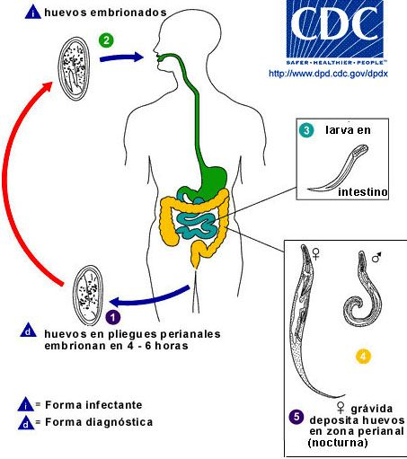 enterobius vermicularis cdc life cycle