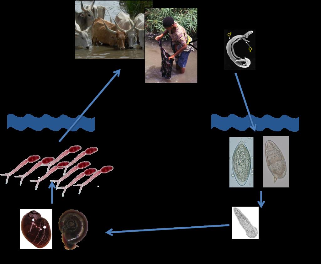 schistosomiasis zoonosis