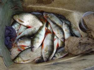 paraziti ryb
