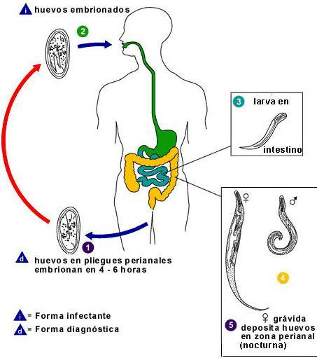 que enfermedades produce el oxiuros