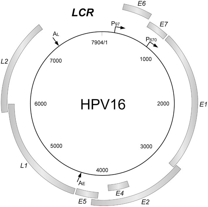 hpv manner medikamente virus del papiloma raspado
