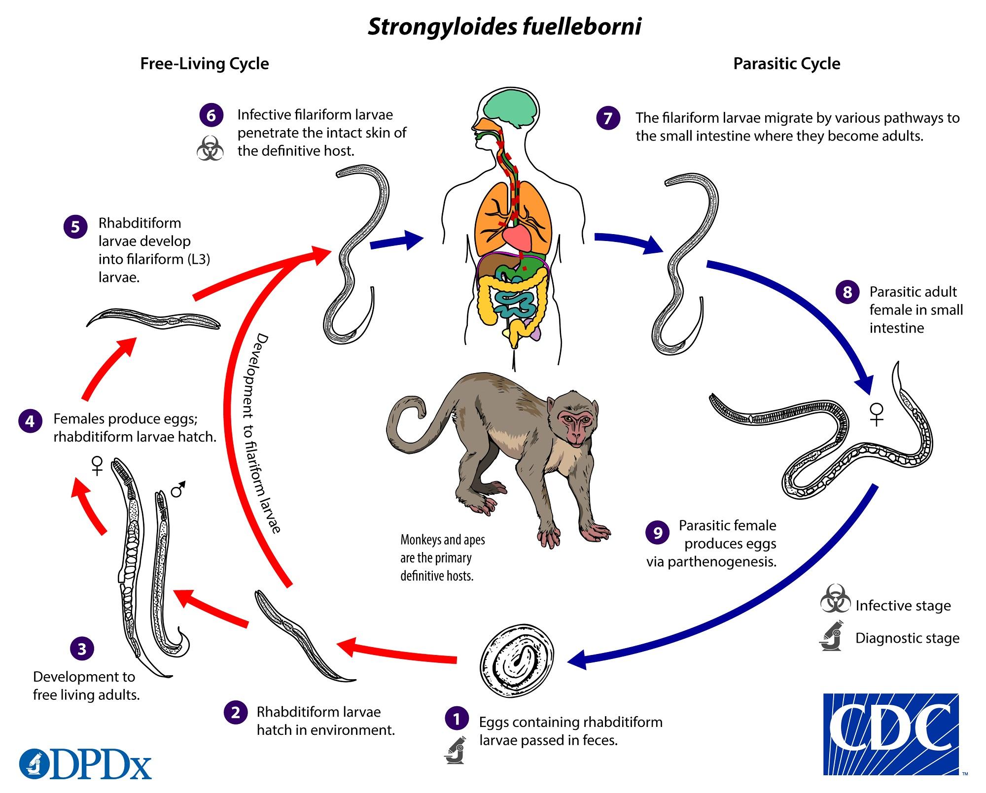enterobius vermicularis cdc life cycle)