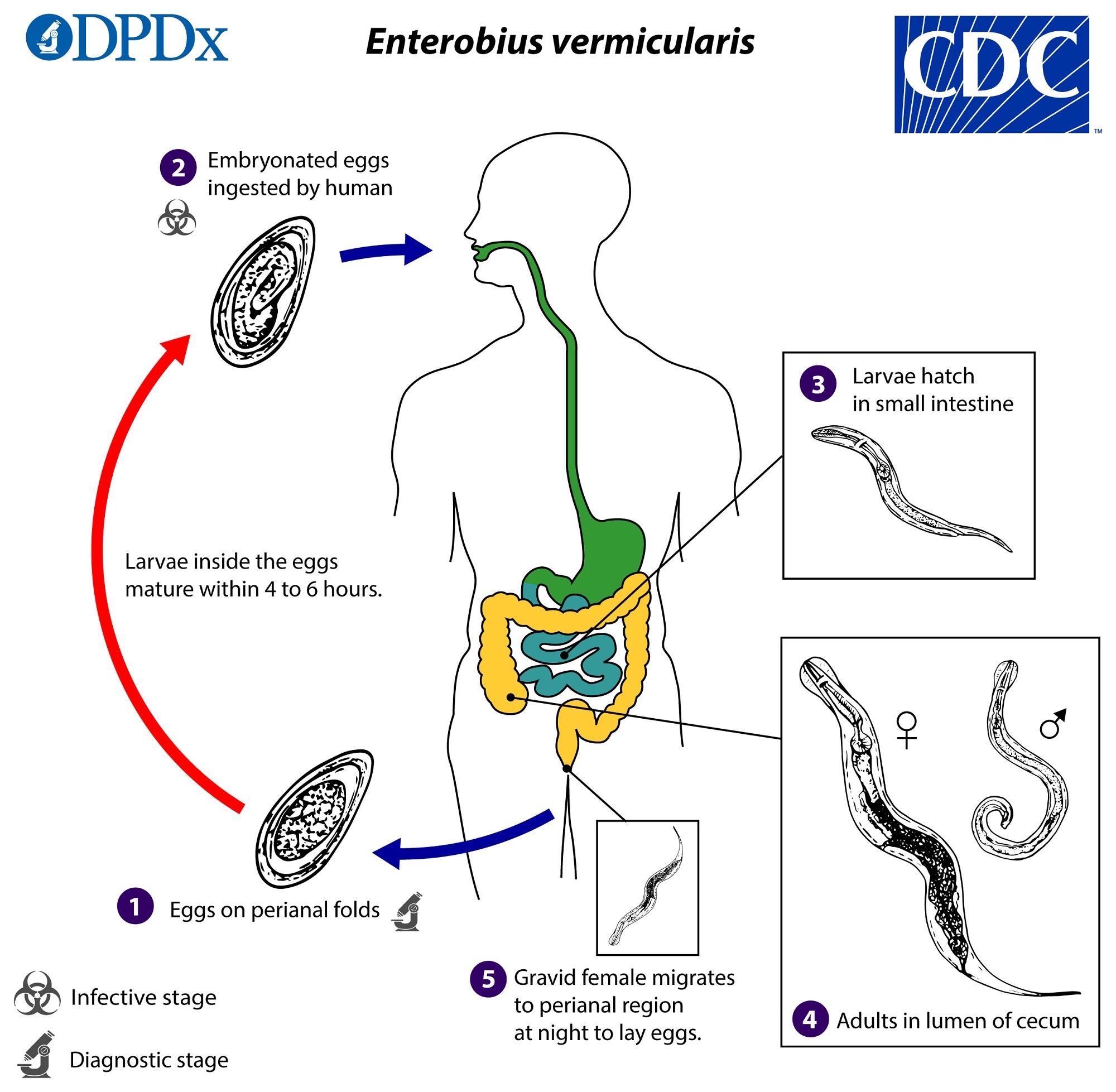 Enterobiasis therapie
