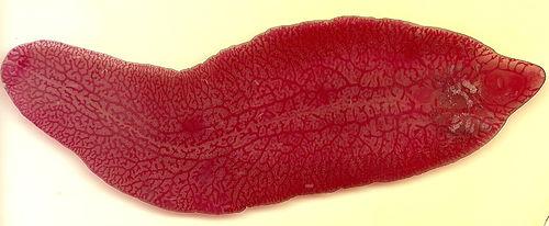 Fasciola hepatica (Viermele de galbeaza)- generalităţi şi patologie - kd-group.ro