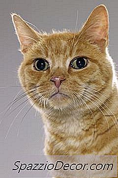 papillomavirus katt)