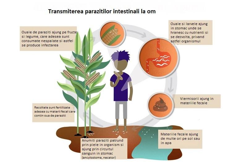 paraziti intestinali netratati)