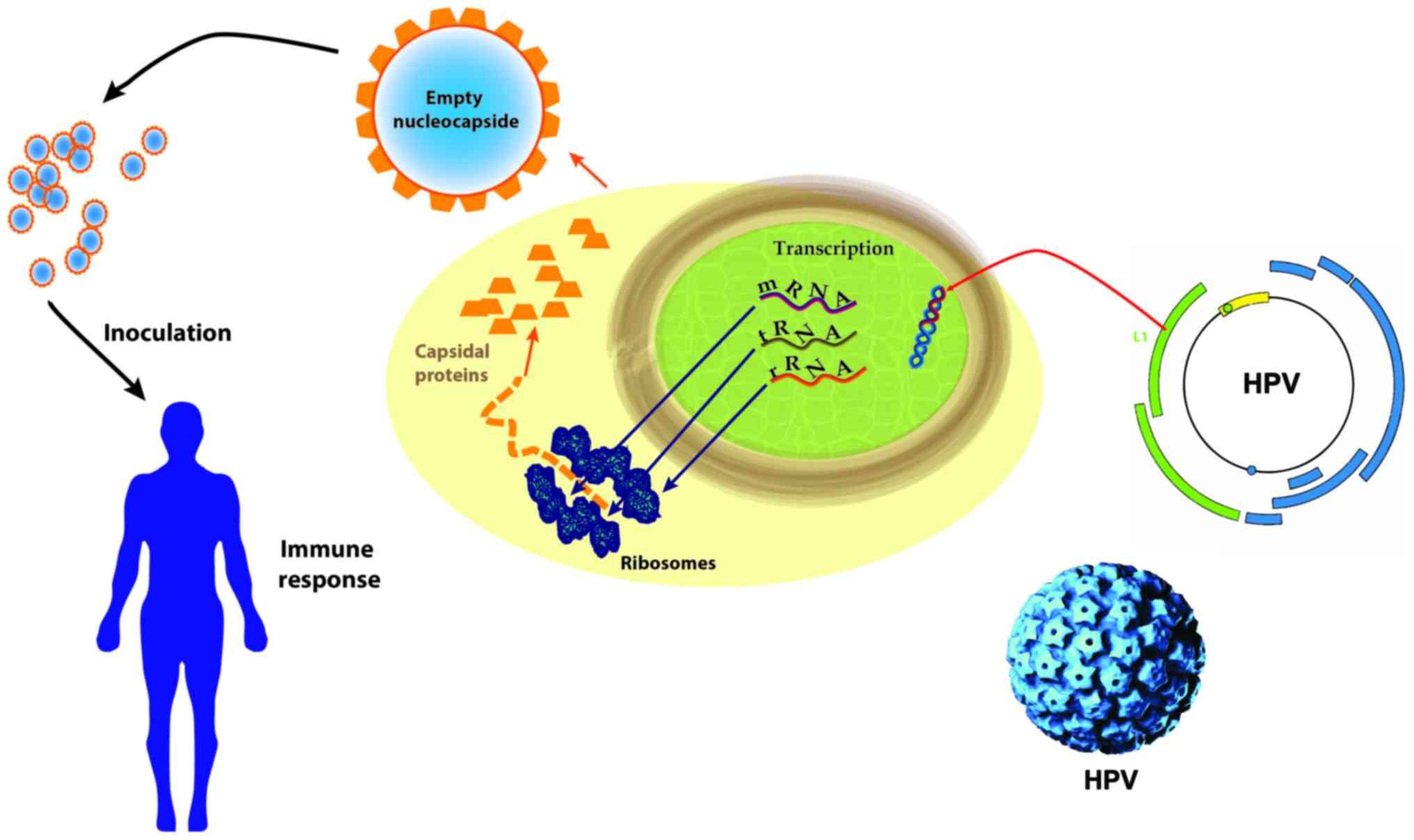 human papillomavirus (hpv) especially strains 16 and 18)