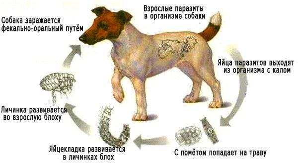 simptome paraziti la catei)