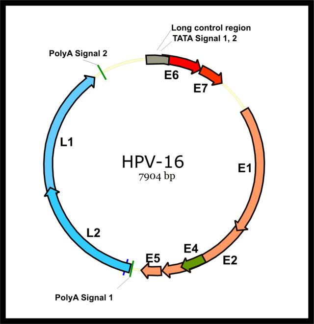 virus papiloma humano genotipo 16)