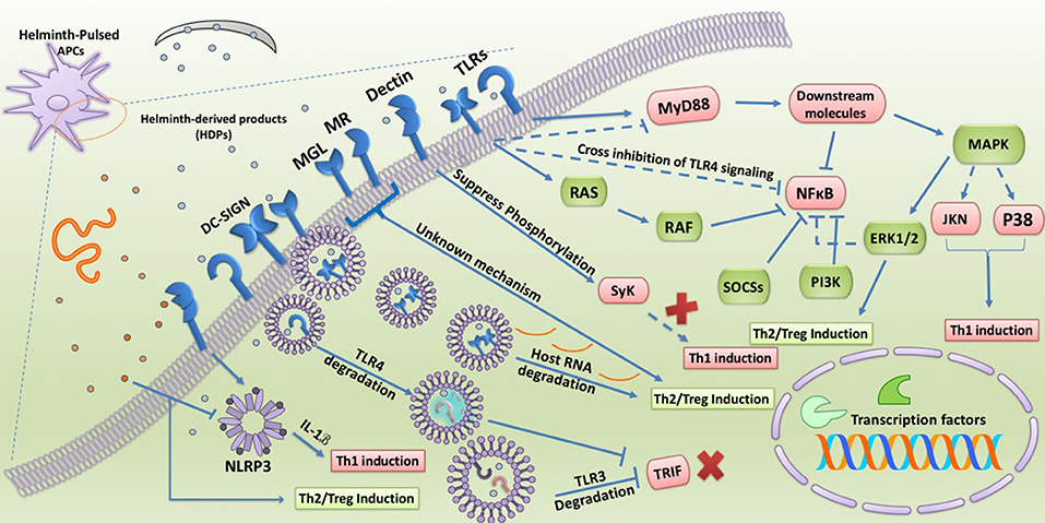 parasitic helminth infections and the control of human allergic and autoimmune disorders