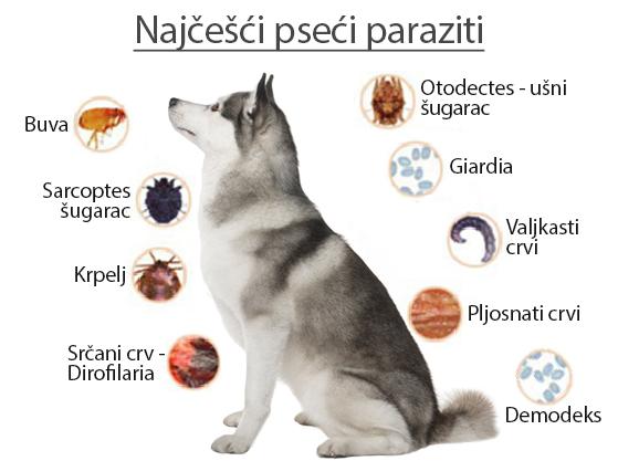 paraziti kod pasa slike