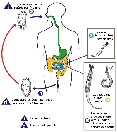 tratamentul nematodului uman