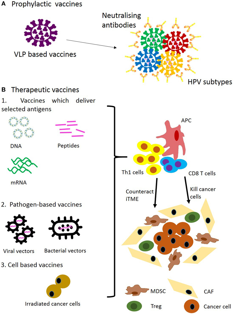 hpv cancer therapy