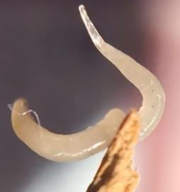 paraziti roupy