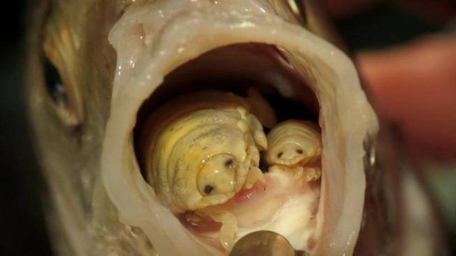 paraziti u ryb)