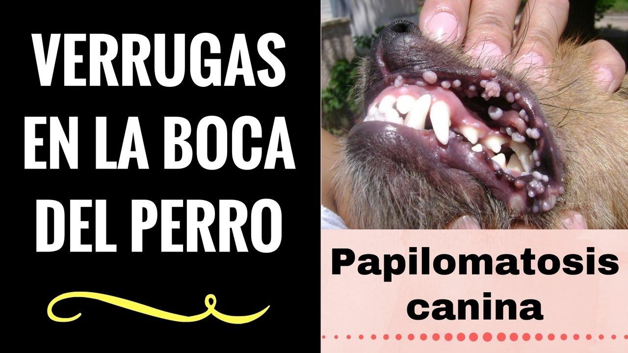 papiloma en la boca de los perros