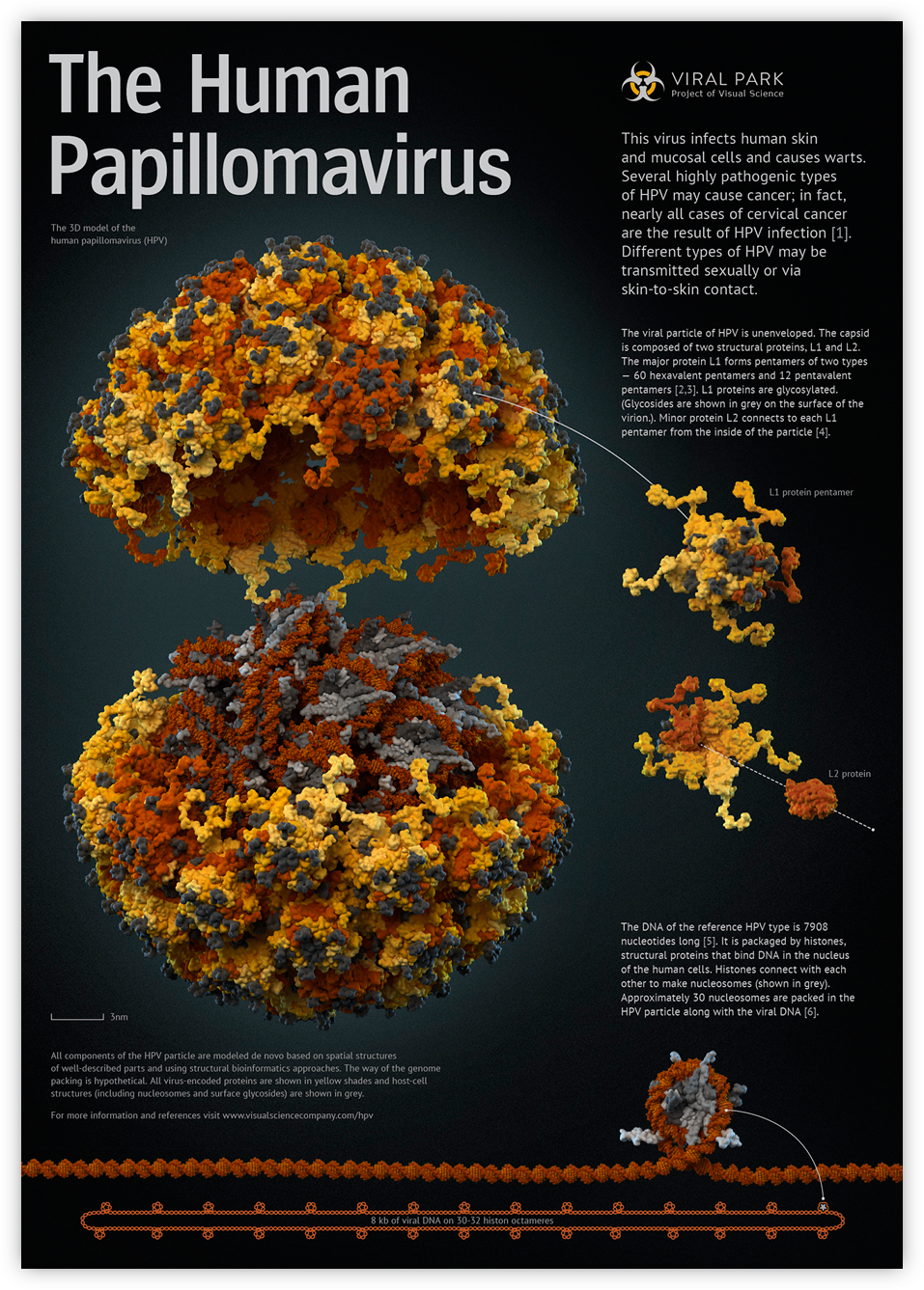 another term for human papillomavirus is