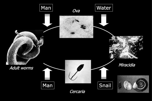 Schistosomes în tratamentul varicelor
