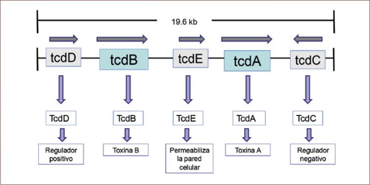 toxine a clostridium difficile vaksin human papilloma virus (hpv)
