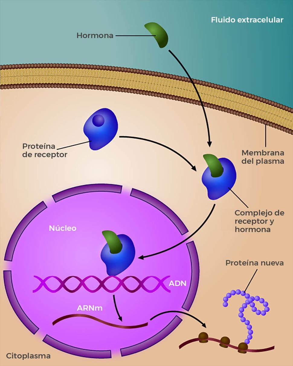 cancer hormonal de seno)