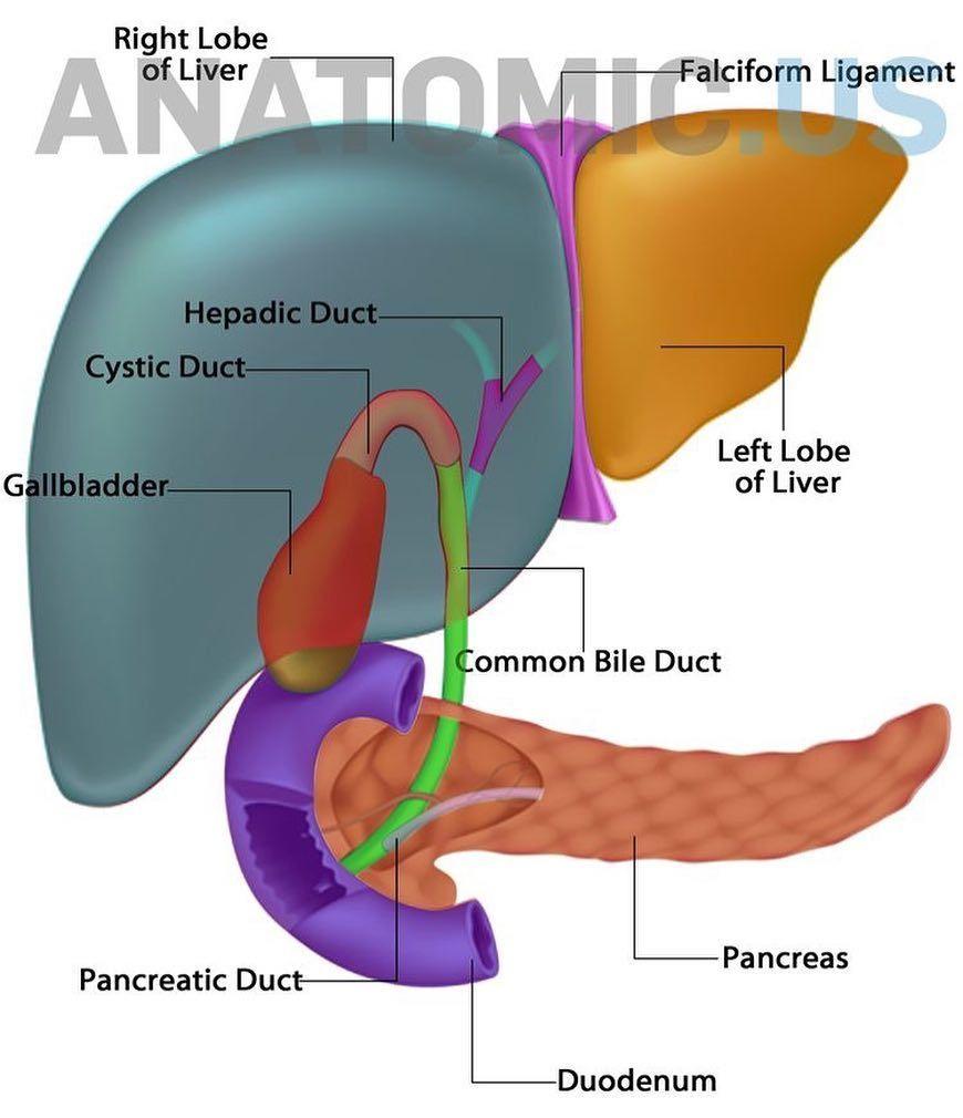 cancer de pancreas e figado)