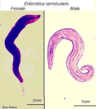 enterobius vermicularis morfologia macho y hembra