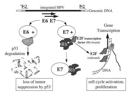 a papillomavirus gene)