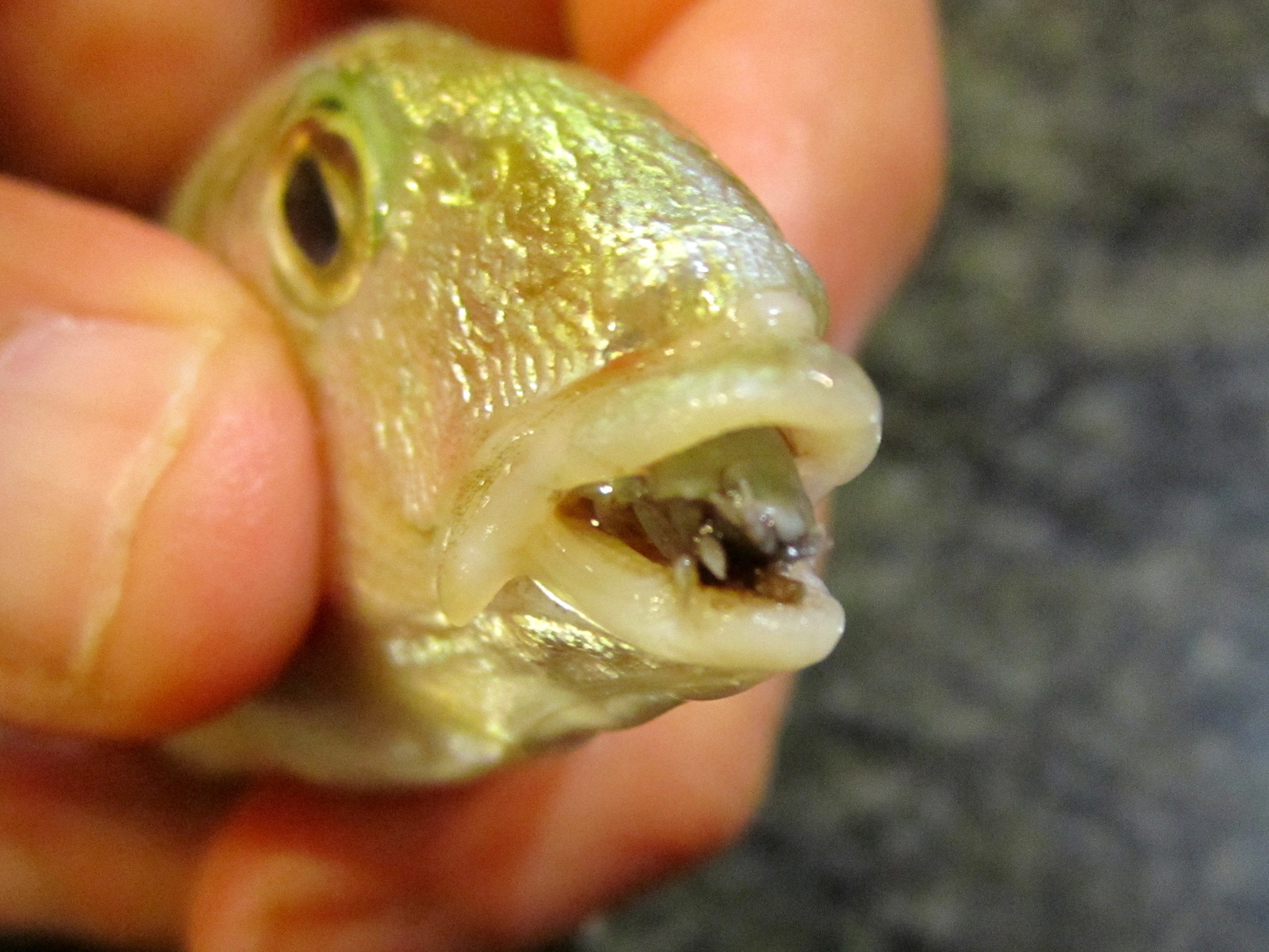 ryba paraziti